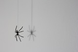 Halloween background concept. Black spider shadow and silhouette hanging on web on white background