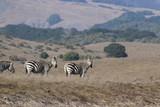Wild California Zebra