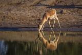 Common Impala in Kruger National park, South Africa ; Specie Aepyceros melampus family of Bovidae - 218727085