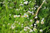 Flower, daisy, nature, white, green, summer