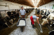 Two young farm workers feeding dairy cows in stables during working day