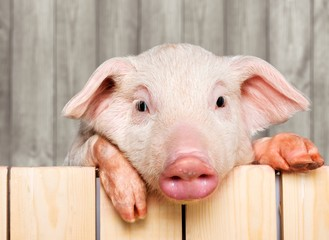 Cute piglet animal in aviator glasses hanging on a fence © BillionPhotos.com