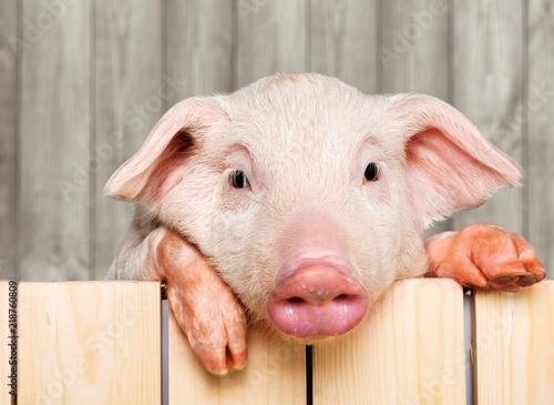 Leinwanddruck Bild Cute piglet animal in aviator glasses hanging on a fence