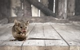 Gray small cute mouse on wooden background - 218762037