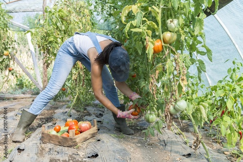 female worker picking tomato in crates for vegetable girl working