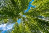 Narrow path, Shuzenji corridor of  beautiful Bamboo Forest near Katsura bridge over Kitamata River Located in Izu City, Shizuoka Prefecture - 218767850