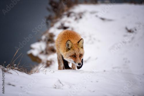 Fototapeta Fox in the winter forest