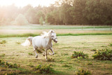Beautiful white horse running on the field in summer - 218787489