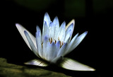 Artistic water lily bloom against rock ledge on black background. - 218787627