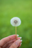 A dandelion flower on a background of green grass is ideal for a background