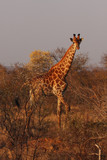 The south african giraffe (Giraffa camelopardalis giraffa) is standing in the savanna full of bush in beautiful morning sunrise