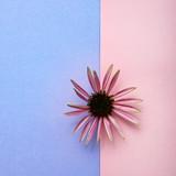 single echinacea flower