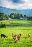 Ziegen in einem Tal der Pyrenäen - 218842205
