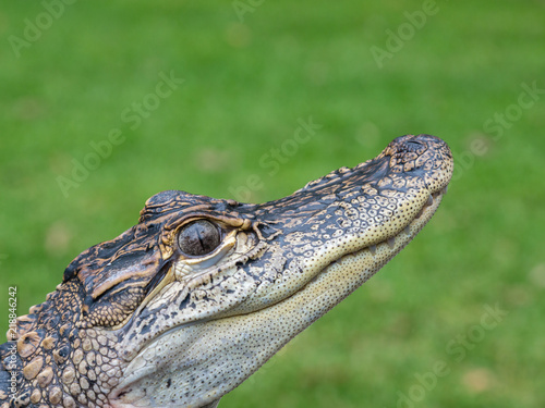 c2eb0f751 Head of a Baby Alligator in Hunter Valley