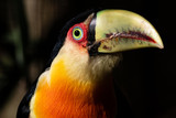 green billed toucan - 218858092