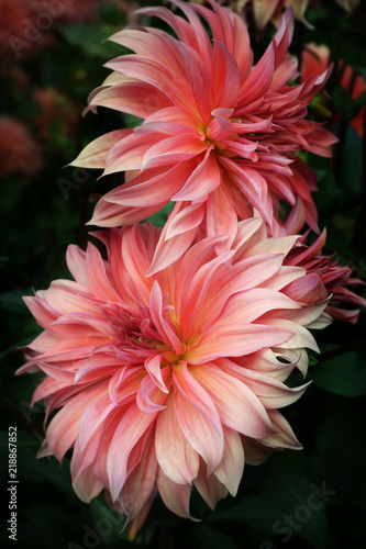 Dahlia decorative Close-up Asteraceae