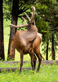 Elk Reaches Back to Scratch Back