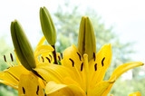 a beautiful yellow lily, a flower lies on a table, in the summer a flower called lily