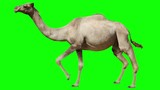 Camel running trot. Animal isolated for your background. Green screen. - 218892659