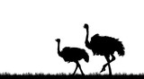 Silhouette the ostrich on white background - 218908202