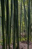 Alrededor de 50 variedades de bambú habitan en el bosque Sagano Arashiyama, algunos superan los 20 metros de altura filtrando la entrada de los rayos de sol.Kioto, Japón