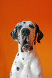 Portrait of harlequin great dane isolated on orange backround