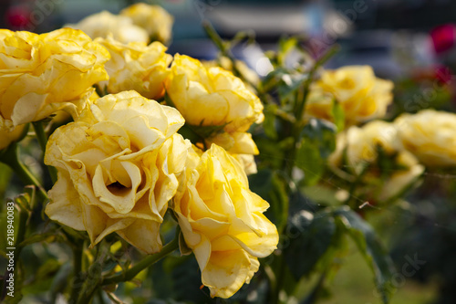 Beautiful yellow roses blooms in the garden