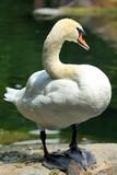 Лебедь - 218950087