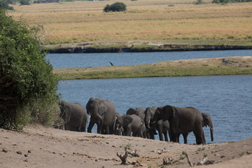 elephant in africa in a group