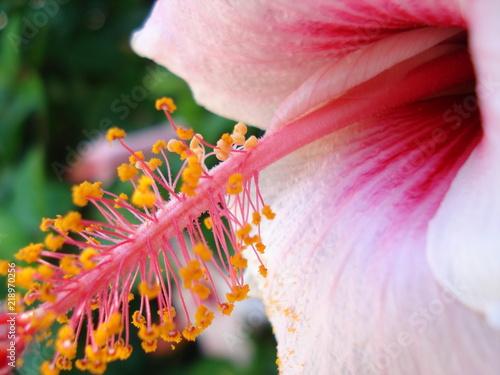 macro avec pétales et pistil d'hibiscus - 218970256