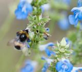 fleur bleu en été dans un jardin en bretagne lumière du jour