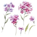 Watercolor phlox flowers - 219008607