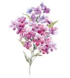 Watercolor phlox flowers - 219008638
