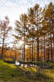Larch forest in Toyama, Japan. カラマツの森  日本富山県富山市有峰 - 219061453