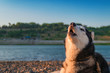 Husky dog howls with his muzzle up. Copy space. Evening summer landscape river coast with blue sky and green forest.