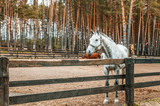 Beautiful gray horse in the arena behind a fence in a pine forest, horseback riding