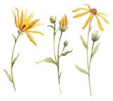 Watercolor topinambur illustration - 219098863
