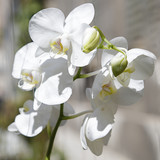 Several white orchids in a greenhouse
