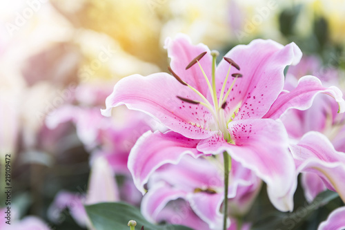 Beautiful Pink Lilly Flower Over Blurred Garden With Vintage Warm Light Spring Concept Background