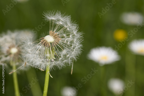 dandelion field, close up