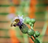 Une abeille butine sur une fleur violette - 219140836