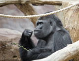 the male gorilla with a twig in his mouth.. - 219150073