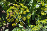 Inflorescence of dill, close-up - 219153492