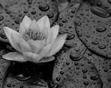 Nahaufnahme einer Wasserrose mit Wasserperlen