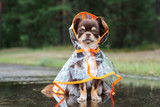 chihuahua dog sitting in a puddle in rain coat - 219158457
