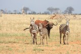 Zebre con bufalo in allerta