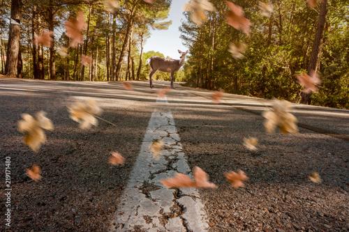 Fototapeta Reh steht auf der Straße mit wehenden Blättern im Herbst