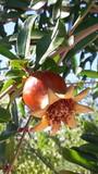 Pomegranate fruit in Korcula, Dalmatia, Croatia - 219177679