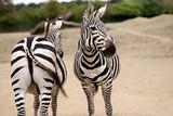 Portrait of African striped coats zebras
