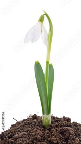 Fototapeta Snowdrop on white.